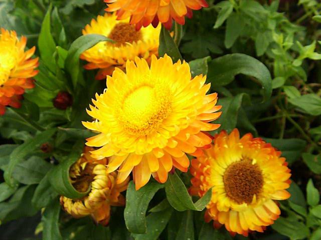 цветок бессмертник нечуй-ветер