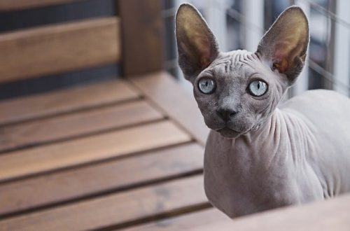 Кошка сфинкс: описание породы и дальнейший уход
