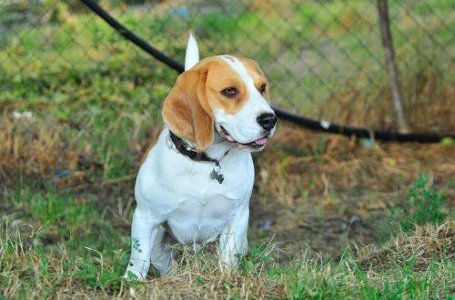 Бигль собака: описание породы, и дальнейший уход