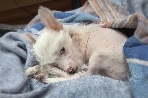Китайская хохлатая собака (КХС): описание породы, уход