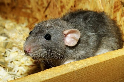 Домашние декоративные крысы плюсы и минусы содержания
